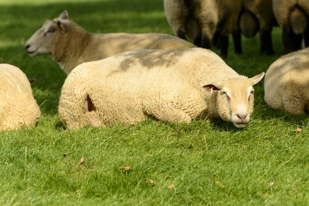 Romney Marsh sheep 03, portrait of a resting sheep at Romney Marsh, Kent Stock Photo