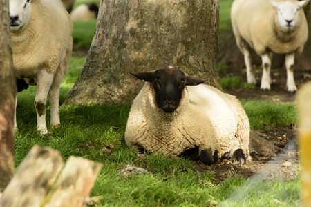 Romney Marsh sheep 04, portrait of a sheep resting in shade at Romney Marsh, Kent Stock Photo