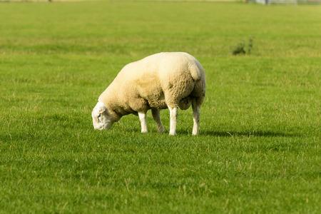 romney: Romney Marsh sheep 05, portrait of a grazing sheep at Romney Marsh, Kent