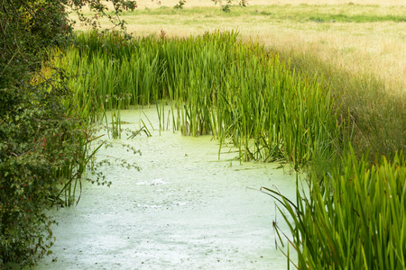 romney: marsh vegetation, Romney Marsh, view of a ditch with backwater and water plants in Romney Marsh, Kent