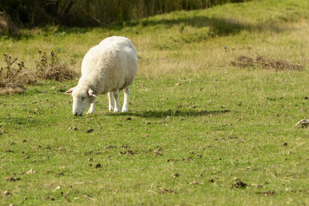 Romney Marsh sheep 06, portrait of a grazing sheep at Romney Marsh, Kent Stock Photo