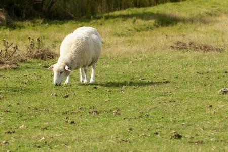romney: Romney Marsh sheep 06, portrait of a grazing sheep at Romney Marsh, Kent Stock Photo