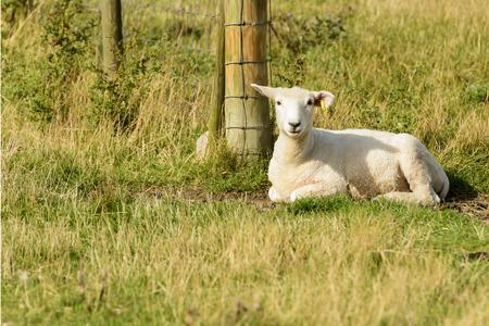 romney: Romney Marsh sheep 08, portrait of a resting lamb at Romney Marsh, Kent Stock Photo