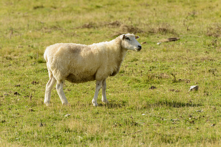 Romney Marsh sheep 09, portrait of a standing sheep at Romney Marsh, Kent Stock Photo