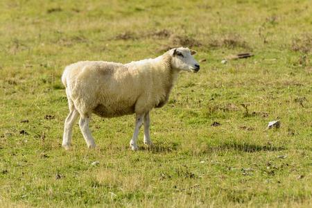 romney: Romney Marsh sheep 09, portrait of a standing sheep at Romney Marsh, Kent Stock Photo