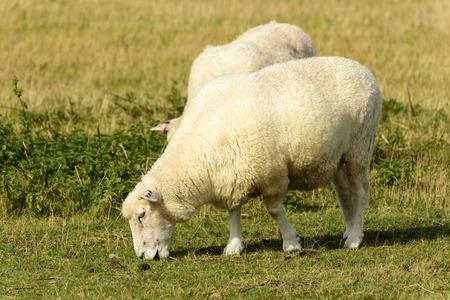 romney: Romney Marsh sheep 10, portrait of a grazing sheep at Romney Marsh, Kent