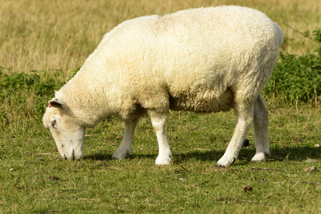 ovine: Romney Marsh sheep 11, portrait of a grazing sheep at Romney Marsh, Kent