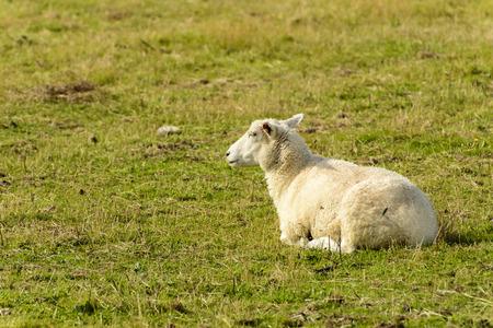 romney: Romney Marsh sheep 14, portrait of a resting sheep at Romney Marsh, Kent