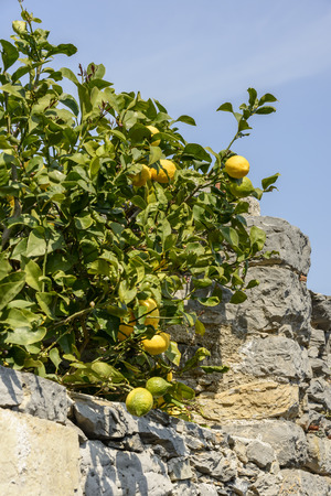 drystone: lemons on plant peep out of drystone wall of orchard at ancient sea village Portovenere Italy