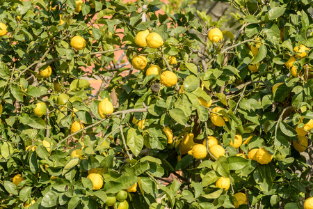 spezia: detail of lemons on plant in orchard of ancient sea village, Portovenere, Italy Stock Photo