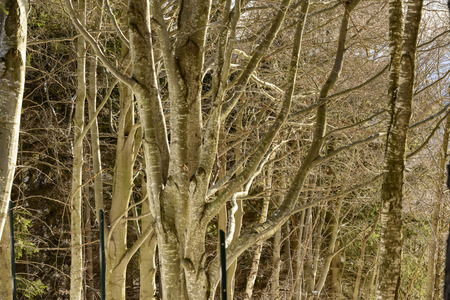 upland: foreshortening of bare branches in winter wood, shot in bright winter light at Resinelli upland, Italy