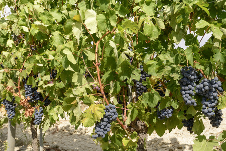 sweet ripe black grapes and vine leaves in vineyard near Ovada, Piedmont, Italy