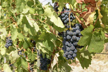 detail of sweet ripe black grapes and vine leaves in vineyard near Ovada, Piedmont, Italy
