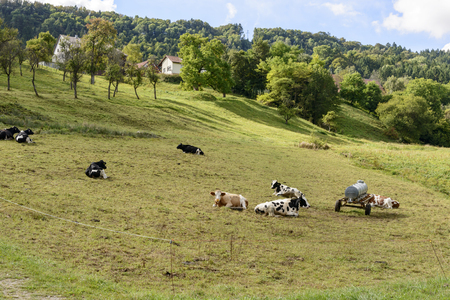 some cows rest in an hilly field of German countryside. Shot in bright light near Achdorf, Wuttenberg Baden, Germany Stock Photo