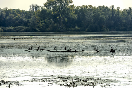 Cormorans at rest on branch emerged from swamp in Mincio lake Park around Town, shot in bright fall light at Mantua, Italy Stock Photo