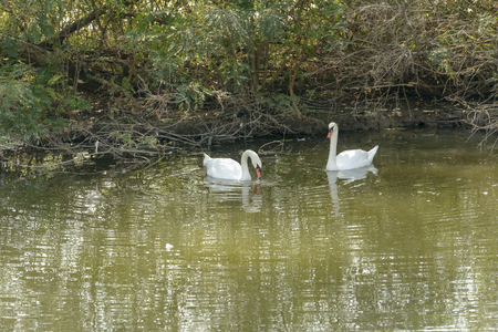 A couple of swans in water near the shore in Mincio Lake Park around Town, shot in bright fall light at Mantua, Italy Stock Photo
