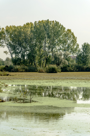 Landscape with big trees and large green swamp in Mincio lake. Park around Town, shot in bright fall light at Mantua, Italy Stock Photo
