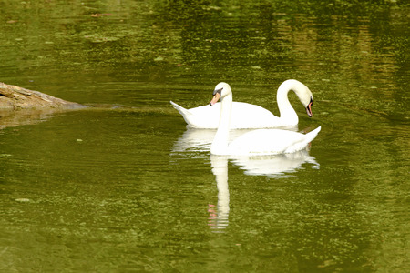 couple of swans swimming in green river water in Mincio lake Park near town, shot in bright fall light at Mantua, Italy