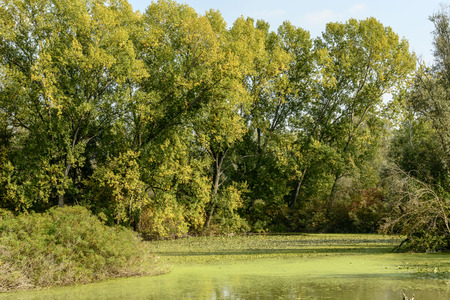 Landscape with large trees and calm water of Mincio River with green meander, shot in bright autumn sunlight near Mantua, Lombardy, Italy
