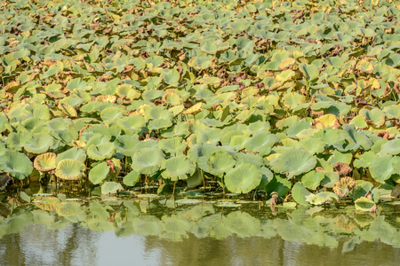 texture of loto leaves on shore of Mincio river, shot in bright autumn sunlight near Mantua, Lombardy, Italy Stock Photo