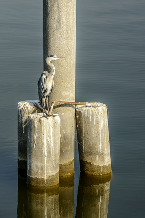 gray heron on the emerging pole in Mincio lake Park around Town, shot in a bright fall light at Mantua, Italy Stock Photo