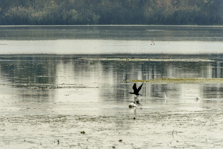 Cormoran taking off from the swamp in Mincio lake Park around Town, shot in bright fall light at Mantua, Italy