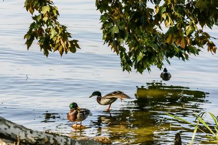 Ducks on Shore of Mincio Lake Park, shot in bright fall light at Mantua, Italy