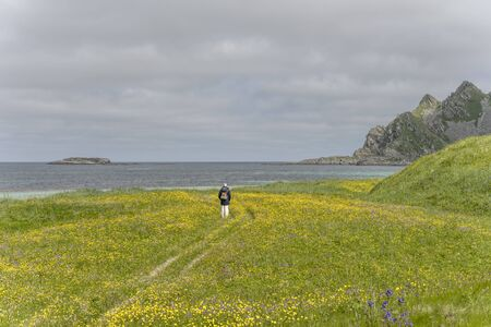 unrecognizable tourist wanders through myriad of yellow common buttercap in green meadows near white sand beach at bay on western side of island, shot under bright summer light at Bleik, Andoya, Vesteralen, Norway