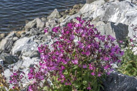 detail of fuchsia wildflowers sprouting out of dyke rocks, shot under bright summer light at Nordmela, Andoya, Vesteralen, Norway Banco de Imagens