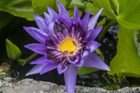 Beautiful lotus in the garden
