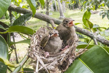 Les oiseaux grandissent, les oiseaux quittent le nid prêts à voler.
