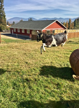 Joy on the Farm — a goat leaps airborne in brilliant morning sunshine
