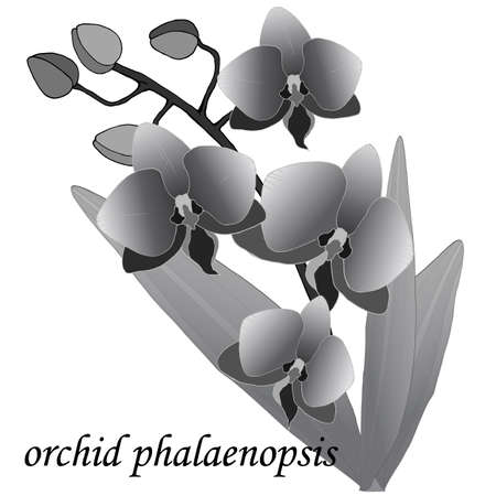 branch of orchids with leaves in gray colors, vector illustration, isolate on a white background
