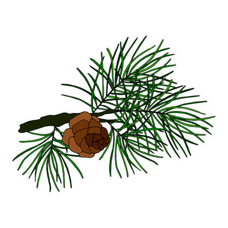 vector illustration, branch of a pine tree, a fir tree with a cone, an isolate on a white background