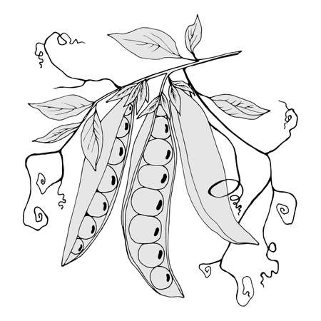 branch with peas and leaves in gray colors, vector illustration, isolate on a white background 矢量图像