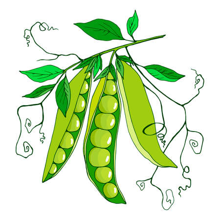 branch with peas and leaves, vector illustration, isolate on a white background