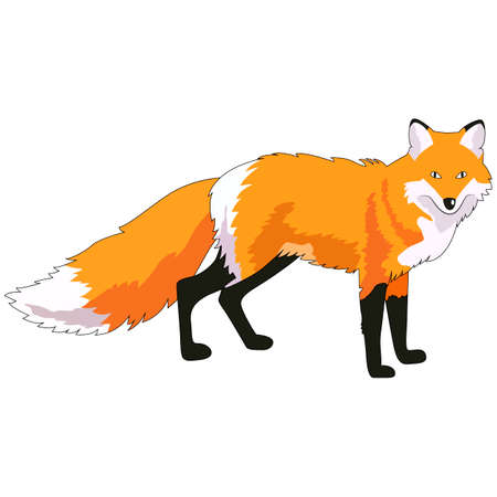 vector illustration, fox image, wild animal, isolate on a white background