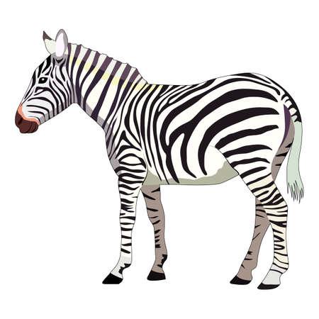 vector illustration, drawing of a zebra, isolate on a white background Ilustracje wektorowe