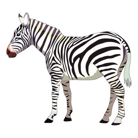 vector illustration, drawing of a zebra, isolate on a white background 矢量图片