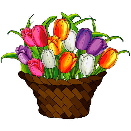 vector illustrations, tulip flowers in basket, for design of leaflets and greetings, isolate on a white background