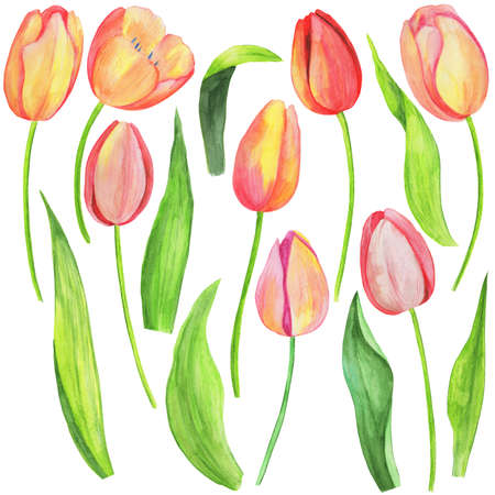 watercolor illustration, set of drawings of flowers and leaves of tulips, isolate on a white background Фото со стока