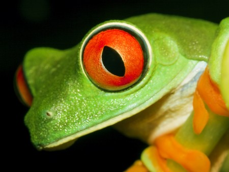 Red-eyed tree frog(Agalychnis callidryas) sitting on the branch-top down view