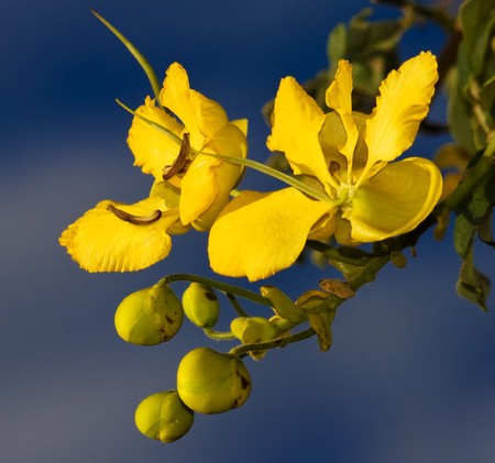 Cassia blooms from Malawi  with blue sky background