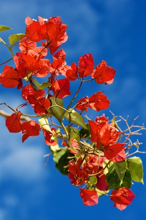 Bougainvillea blooms from Malawi with blue sky background photo