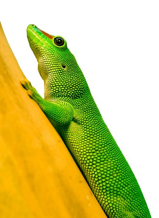 Phelsuma madagascariensis on bamboo branch Stock Photo