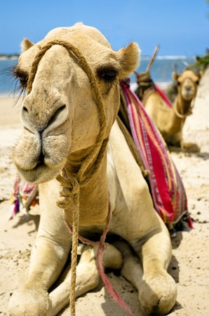 Two sitting camels -front view Stock Photo