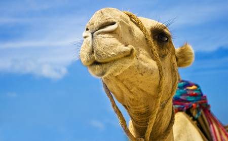 Detail of the camel head on blue sky background photo