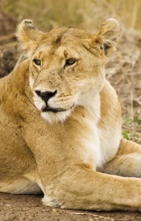 Relaxing lioness from NR Masai Mara,Kenya