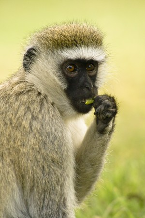 Portrait of vervet monkey(Cercopithecus aethiops) from Masai Mara
