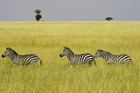 Three zebras walking through grassland in NR Masai Mara